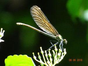 Blauflügel-Prachtlibelle Weibchen