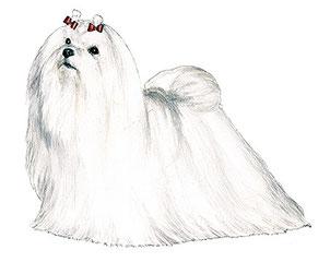 Perro raza Bichón Maltés