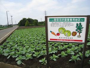 菅田、羽沢のキャベツ畑