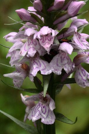 Geflecktes Knabenkraut - Dactylorhiza maculata; eine Orchidee, die um Bad Herrenalb noch zerstreut zu finden ist - Reitweg am Wurstberg (G. Franke, 07.06.2020)