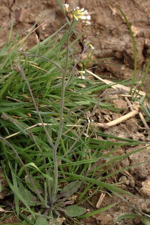 Acker-Schmalwand - Arabidopsis thaliana; ein Kreuzblütengewächs, möchte magere Böden und sonnige Stellen; zwischen Langensteinbach und Auerbach (G. Franke, 08.04.2021)