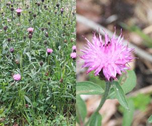 Hain-Flockenblume, eine Unterart der Schwarzen Flockenblume (Centaurea nigra ssp. nemoralis)