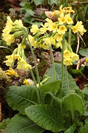 Hohe Schlüsselblume - Primula elatior, in voller Blüte auf einem bewachsenen Waldweg bei Karlsbad-Spielberg (G. Franke, 29.03.2020) Unterschied zur Wiesen-Schlüsselblume, Blüten hellgelb statt dottergelb mit gelbem Schlundring statt 5 Schlundflecken