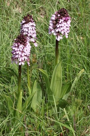 Purpur-Knabenkraut - Orchis purpurea,  auf einer Streuobstwiese bei Keltern (G. Franke, 02.05.2019)