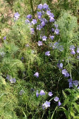 Rundblättrige Glockenblume - Campanula rotundifolia; eine Wiesenpflanze, die man hin und wieder im Ackerrandstreifen findet - bei Auerbach (G. Franke, 10.06.2021)