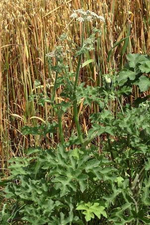 Wiesen-Bärenklau - Heracleum sphondylium; am Feldrand bei Langensteinbach (G. Franke, 07.07.2021)