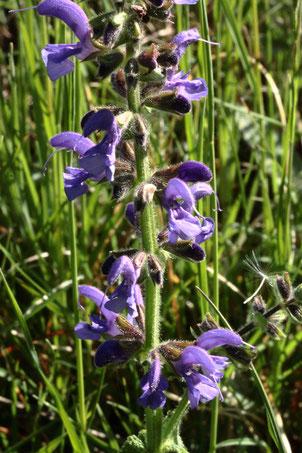 Der Wiesen-Salbei - Salvia pratensis beginnt zu blühen (G. Franke, 03.05.2020, Keltern)