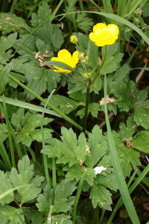 Kriechender Hahnenfuß - Ranunculus repens; Ackerrand bei Langensteinbach (G. Franke, 10.05.2021)