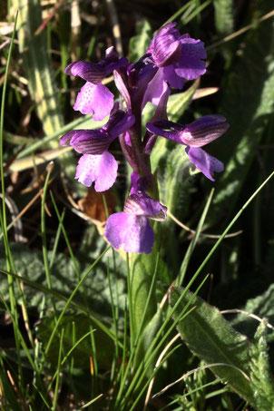 Kleines Knabenkraut - Anacamptis morio; eine früh blühende Orchidee, dieses Jahr bereits in voller Blüte (G. Franke, Karlsbad, 22.04.2020)