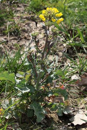 Raps - Brassica napus; aufblühende Pflanze auf einem Ackerrandstreifen bei Auerbach (G. Franke, 22.04.2021)