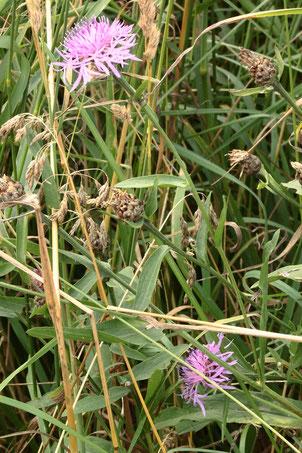Wiesen-Flockenblume - Centaurea jacea; Feldrand bei Auerbach (G. Franke, 26.06.2021)