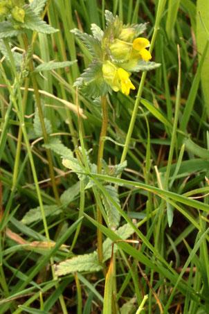 Kleiner Klappertopf - Rhinanthus minor - Streuobstwiese bei Pfaffenrot (G. Franke, 13.05.2020)
