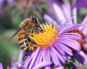 Rheine - Bienen - Imkerei - Apitherapie - Bienenheilkunde - Honigmassage - Propolis - Blütenpollen -