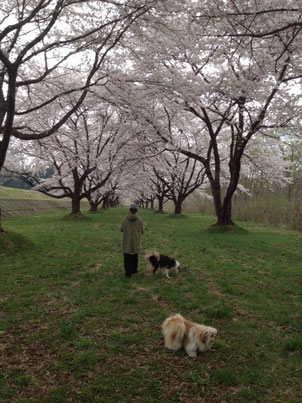 この時は他の方はほとんどおらず穴場的な桜回廊を散策。