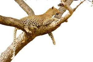 leopard perrine crosmary