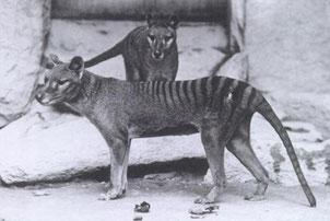 fiche animaux disparus tigre tasmanie loup tasmanian tiger wolf
