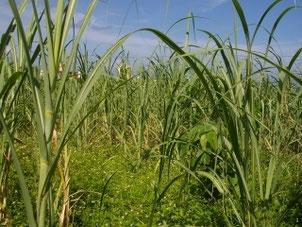 Sugar Cane by Robert Brenner  / pixelio.de