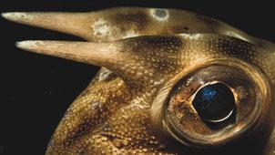 Boxfish, Pulau Weh