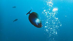 Doctorfish Pulau Weh