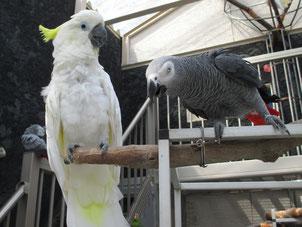 他の鳥が怖がっていてもお構いなしに近づくため、注意が必要です。