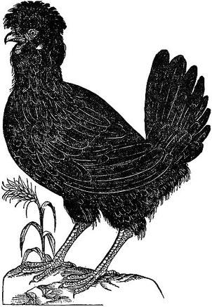 Paduaner Henne: Ulisse Aldrovandi (1522–1605) - Ornithologiae tomus alter