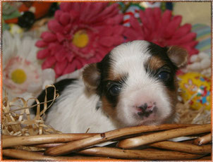 Yorkshire Terrier in tricolor sind in Bayern zu vergeben