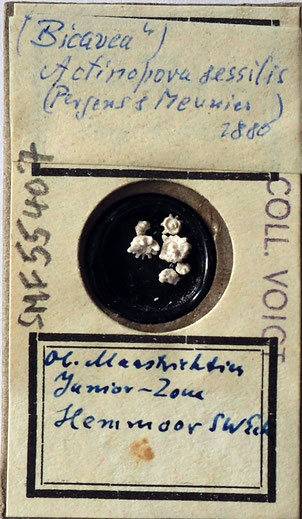Bild 31 Bryozoa aus Sammlung Senckenberg Frankfurt