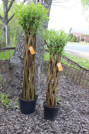 Плетеные деревья Датские корни