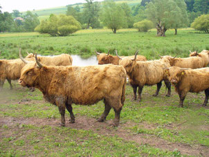 Schottische Hochlandrinder beweiden die Feuchtwiesen,Foto: Elke Rapp