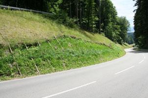 Juni 2011: Ausgetriebene Weiden und krautige Vegetation aus Wiesensaatgut, Ölrettich und Hafer