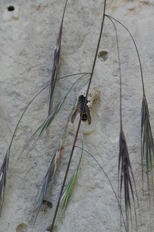 Die Gemeine Schornsteinwespe (Odynerus spinipes) legt ihre Bruthöhlen in der Lößwand an.