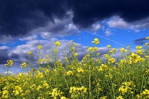 Rapsfeld mit Gewitterwolken, Quelle: pixabay.com