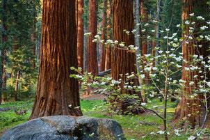 Séquoia géant _ Sequoiadendron giganteum_  et Cornouiller _Cornus nuttallii