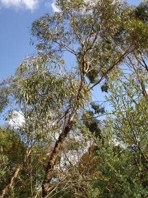 Eucalyptus polybractea CT cryptone