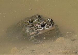 Wechselkrötenpärchen im Amplexus. Foto: ÖNSA/M.Neßmann