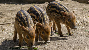 Baby Potamocheri - Baby Red River Hog (Potamochoerus porcus)