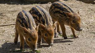 Baby Potamocheri - Baby Red River Hog (Potamochoerus porcus)