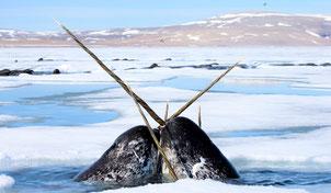 Deux narvals remontent à la surface pour respirer.