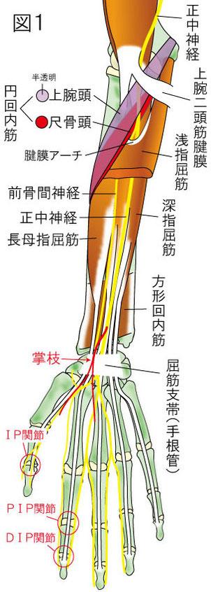 円回内筋症候群と前骨間神経麻痺の絞扼部