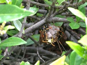 ジンチョウゲに作ったアシナガバチの巣