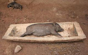 Apparently in Indonesia a pregnant woman and her mouse survived the great flood in a pig trough! Probably more believable than the bible tale!
