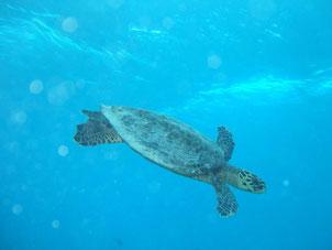 Seychelles tartarughe