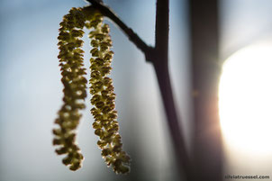 Close-up of inflorescences of hazel in the backlit in spring, Uster, Zurich, Switzerland.