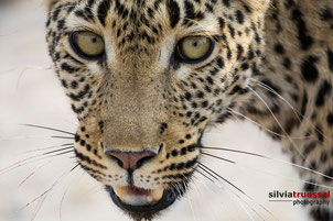 Close-up of a leopard, frontal face, Khwai River, Botswana, Africa.