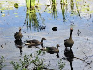 Vier Gänse auf einem See, zwei davon schauen erwartungsvoll mit gerecktem Hals in die Kamera