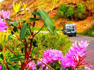 vielfarbige Rhododendron-Buschen entlang der Strasse