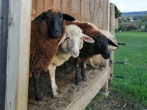 Schafe am Weingut