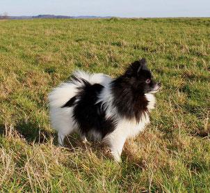 Pomeranian Hündin Rin Tin Tin von der Arnold's Eiche.