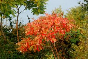 Strauch, Herbst