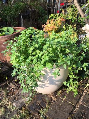 わずか2ヶ月で立派になった鉢植え。ミントでもじゃもじゃだ。